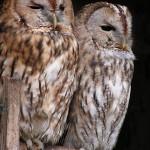 tawny-owl-175969_640