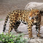 jaguar-1727406_640