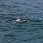 new-zealand-royal-albatross-1226501_640