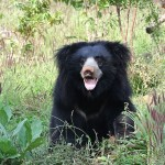 sloth-bear-1136129_640