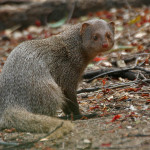 Indian_Mongoose_(Herpestes_edwardsii)-_is_it-_at_Hyderabad,_AP_W_106